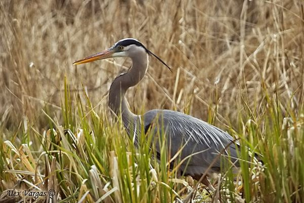 Great-Blue-Heron-1_filtered